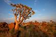 canvas print picture Quiver tree landscape, Namibia