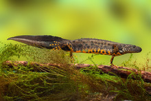 Great Crested Newt Or Water Dr...