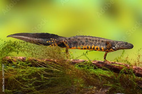 Obraz na plátně great crested newt or water dragon