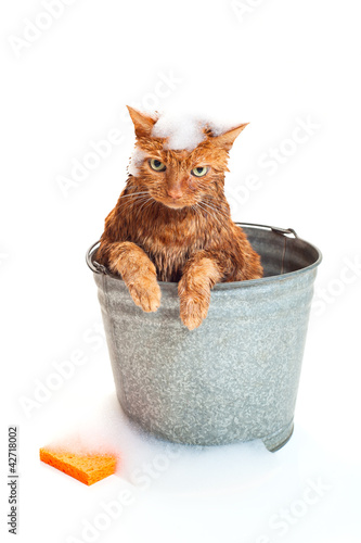Valokuva  Bath time for a wet cat in a bucket with soap suds and sponge.