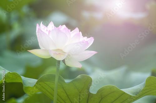 Garden Poster Lotus flower White lotus flower among green foliage