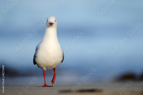 Vászonkép Red-billed Gull standing on beach.
