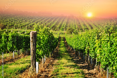 Foto op Plexiglas Wijngaard Green vineyard in South Moravia at sunrise