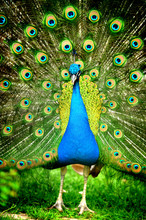 Beautiful Indian Peacock With ...