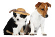 Australian Shepherd dog, and a Jack Russell Terrier