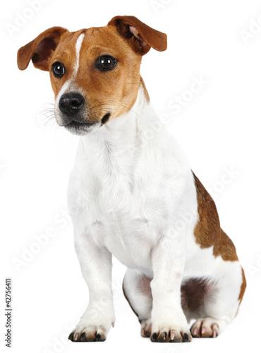 Fotografie, Obraz  Jack Russell Terrier in studio