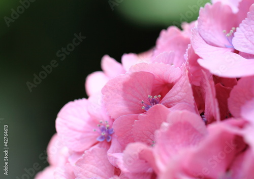 Fototapety, obrazy: ピンクの紫陽花Hydrangea