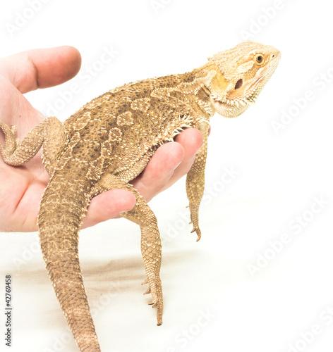 Deurstickers Luipaard lizard pogona viticeps sitting in hand on white background