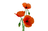 Isolated poppies on white background