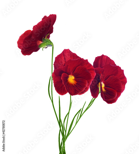 Papiers peints Pansies three red pansy flowers isolated on white
