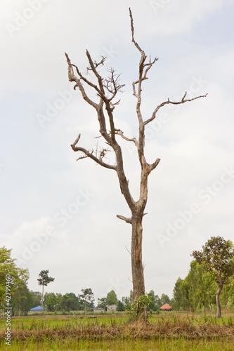 Kolekcje specjalne naklejek suszone-martwe-drzewa-ktore-czesto-sa-widywane-na-polach-ryzowych