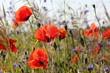 Sommerwiese mit Mohn und Kornblumen