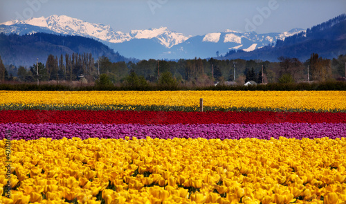 Yellow Red Purple Tulips Snow Mountains Skagit Valley Washington