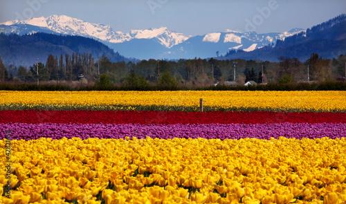 Yellow Red Purple Tulips Snow Mountains Skagit Valley Washington