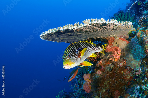 Door stickers Under water Sweetlips fish, Plectorhinchus orientalis