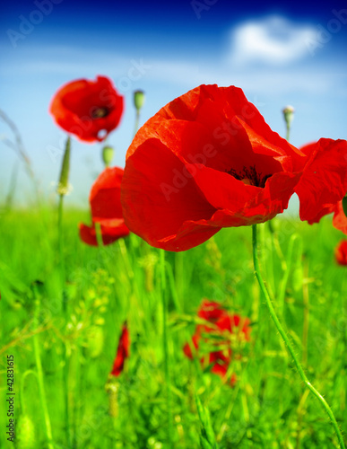 Canvas Prints Poppy red poppy and wild flowers