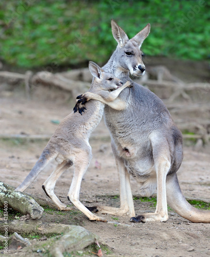 Cadres-photo bureau Kangaroo Australian western grey kangaroo embrace of baby joey