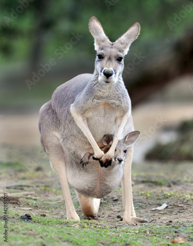 In de dag Kangoeroe Australian western grey kangaroo with baby joey in pouch
