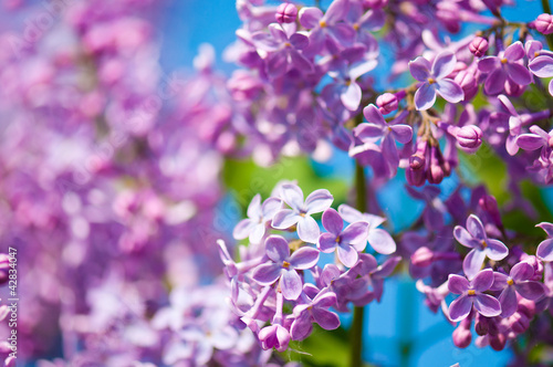 Foto auf AluDibond Flieder Fragrant lilac blossoms (Syringa vulgaris). Shallow depth of fie