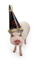 Pot Bellied Pig In A Party Hat