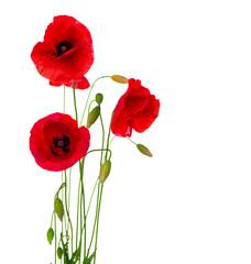 Fototapeta Red Poppy Flower Isolated on a White Background