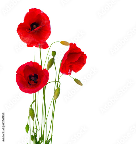 Spoed Foto op Canvas Poppy Red Poppy Flower Isolated on a White Background
