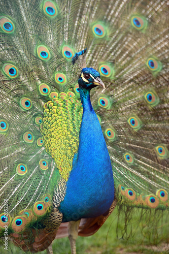 Foto op Aluminium Pauw Peacock peafowl with his tail feathers