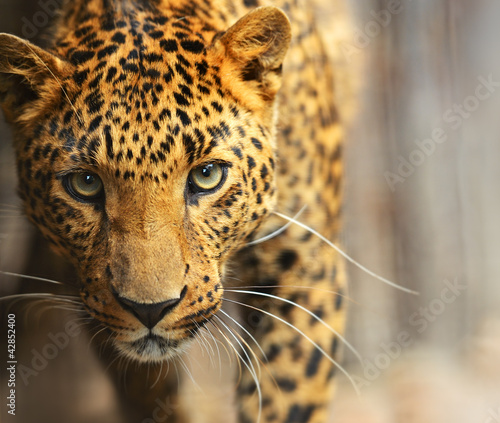 Poster Photo du jour Leopard portrait