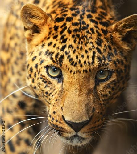 Poster Leopard Leopard portrait