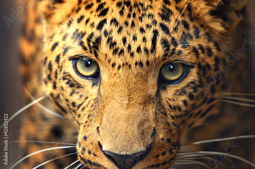 Door stickers Leopard Leopard portrait