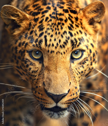 Photo sur Aluminium Leopard Leopard portrait