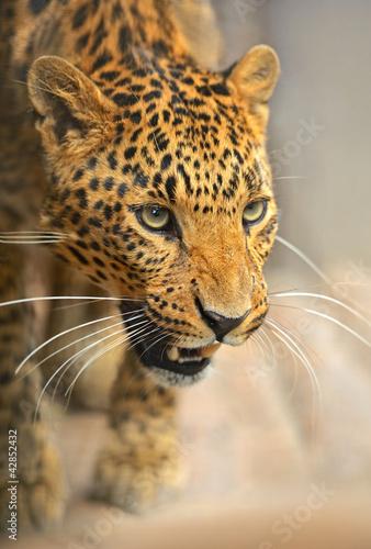 Poster Leopard Leopard