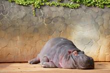 Sleeping Hippopotamus 眠るカバ