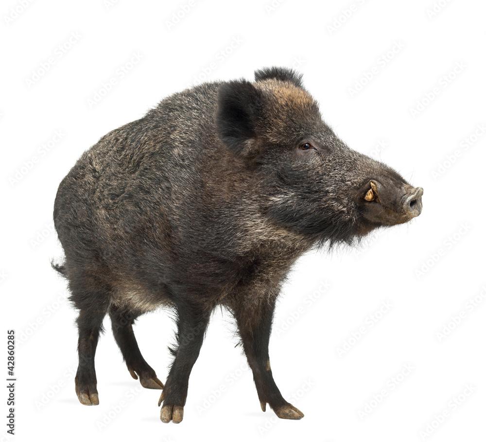 Fototapeta Wild boar, also wild pig, Sus scrofa, 15 years old