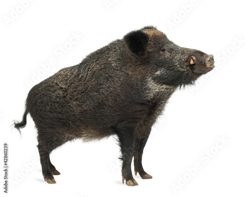 Fotografia Wild boar, also wild pig, Sus scrofa, 15 years old