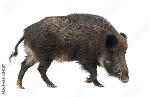 Tableau sur Toile Wild boar, also wild pig, Sus scrofa, 15 years old