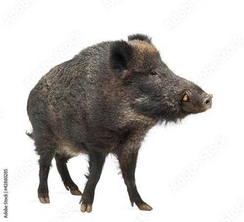 Wild boar, also wild pig, Sus scrofa, 15 years old Wallpaper Mural