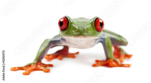 Fotobehang Kikker Red-eyed Treefrog, Agalychnis callidryas