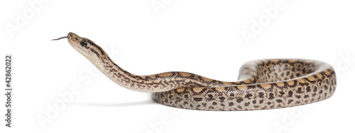 Photo Boa, Epicrates maurus, against white background