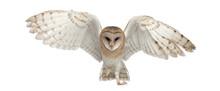 Barn Owl, Tyto Alba, 4 Months ...