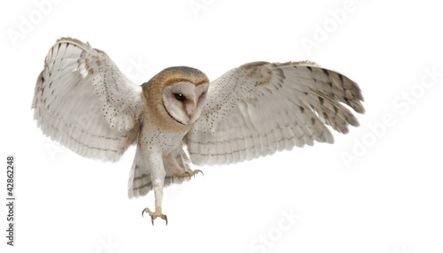 Photo sur Toile Chouette Barn Owl, Tyto alba, 4 months old