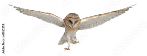 Tuinposter Uil Barn Owl, Tyto alba, 4 months old