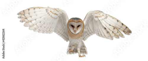Foto op Canvas Uil Barn Owl, Tyto alba, 4 months old