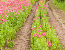 Tractor Tire Tracks In A Colorful Field Of Flowers