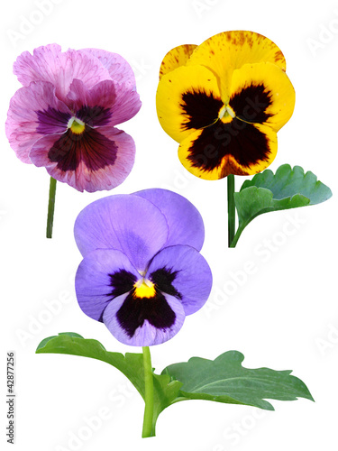 In de dag Pansies pansies Violets flowers