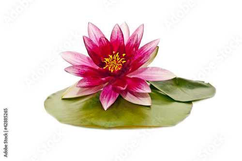 Garden Poster Lotus flower water lily on white beautiful flower