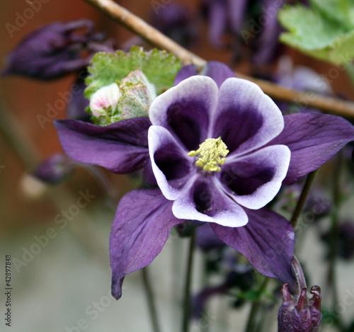 Fotografia aquilegia flowers