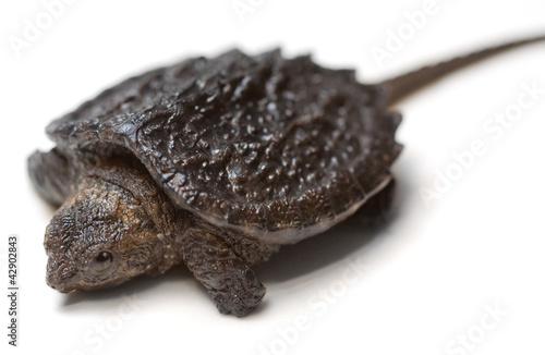 Valokuvatapetti Snapping Turtle