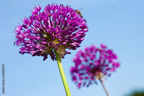 Fototapeta Czosnek - kwiaty  abstract-violet-flowers-on-field-shallow-dof