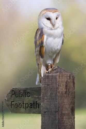 Barn Owl On Post Fototapete